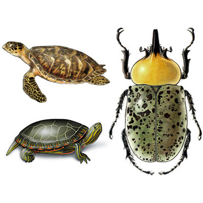 medical illustration of Examples of Biological illustration for publication.  Turtles: Graphite and Adobe Photoshop; Hercules Beetle: Colored Pencil