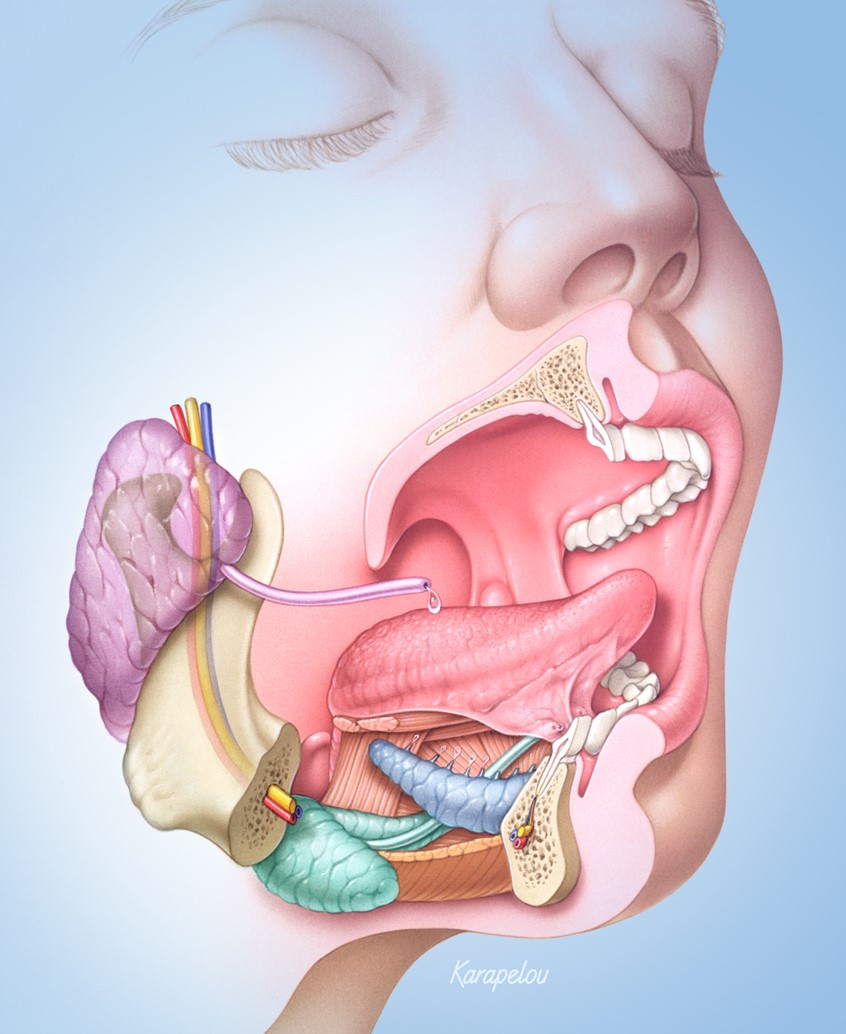 medical illustration of Cutaway view of anatomy of the mouth featuring salivary glands, oral and lingual musculature, teeth and support structures.