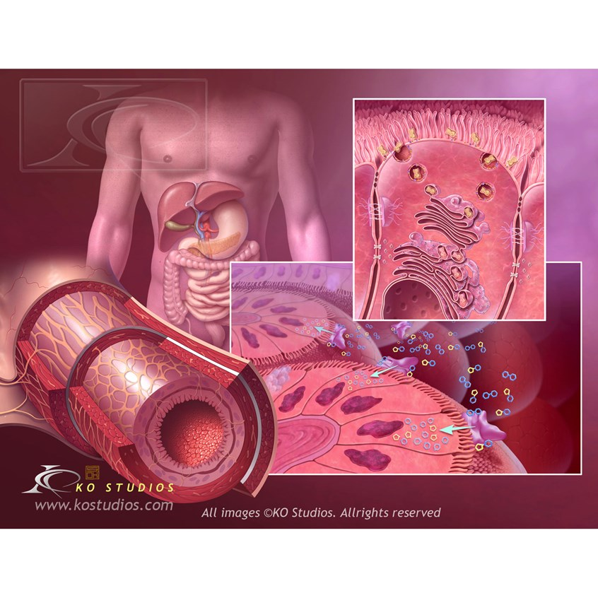 medical illustration of Intestinal flora shown within small intestine to illustrate the role of the Isomaltase enzyme in sugar and carbohydrate absorption.