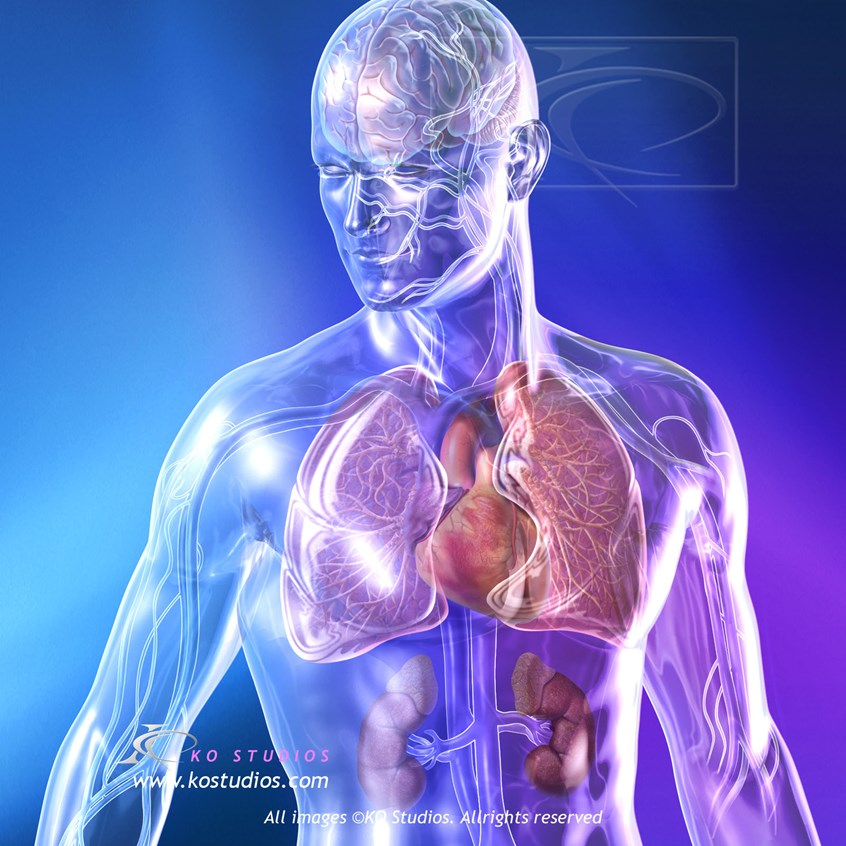 medical illustration of Glass figure (male) with cardiovascular system and related organs