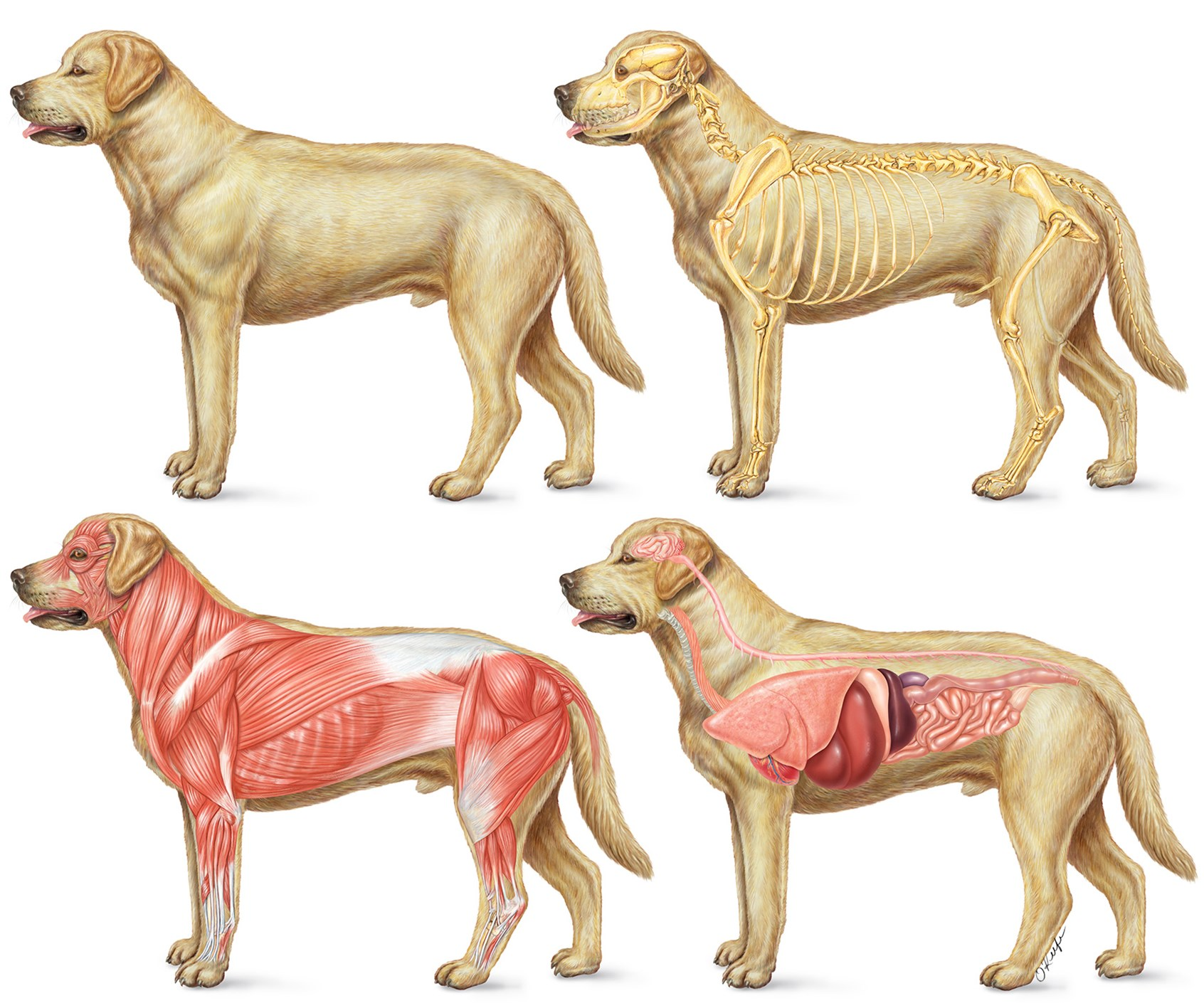 Dog anatomy muscles 1281641 - follow4more.info
