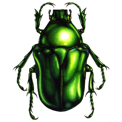 medical illustration of Science art entomological illustration of the irridescent beetle and natural history subject H. elegans