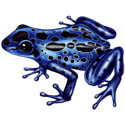 medical illustration of Blue poison dart poison arrow frog illustrated for Wildlfowl and Wetlands Trust UK