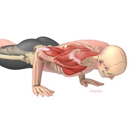 medical illustration of Chaturanga Dandasana yoga pose featuring a visible skeleton and muscles directly involved in sustaining the upper body portion of the pose
