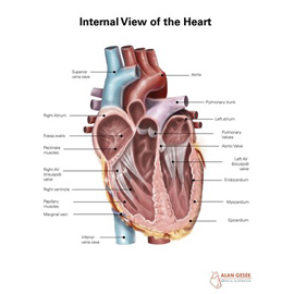 medical illustration of Design, Information Graphics, Advertising / Marketing, Editorial, Education, Multimedia, Web, Anatomy, Cardiac Surgery / Cardiology