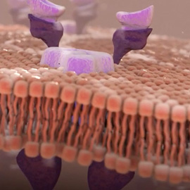 medical illustration of This image shows the bilipid layer of a generic cell and the protein receptors and channels that allow for cellular uptake.