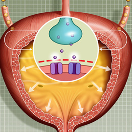 medical animation of An animation of the fill and void cycle in patients with OAB (Overactive Bladder) with Insert images of Norepinephrine stimulation and inhibition of the Hypogastric Nerve