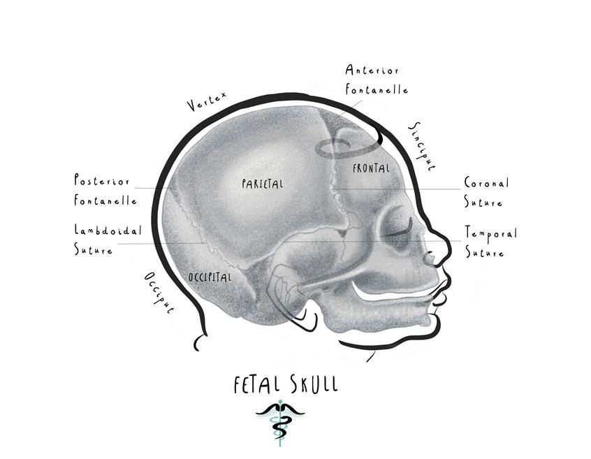 Fetal Skull Illustration By Drawn To Medicine Medical Illustration