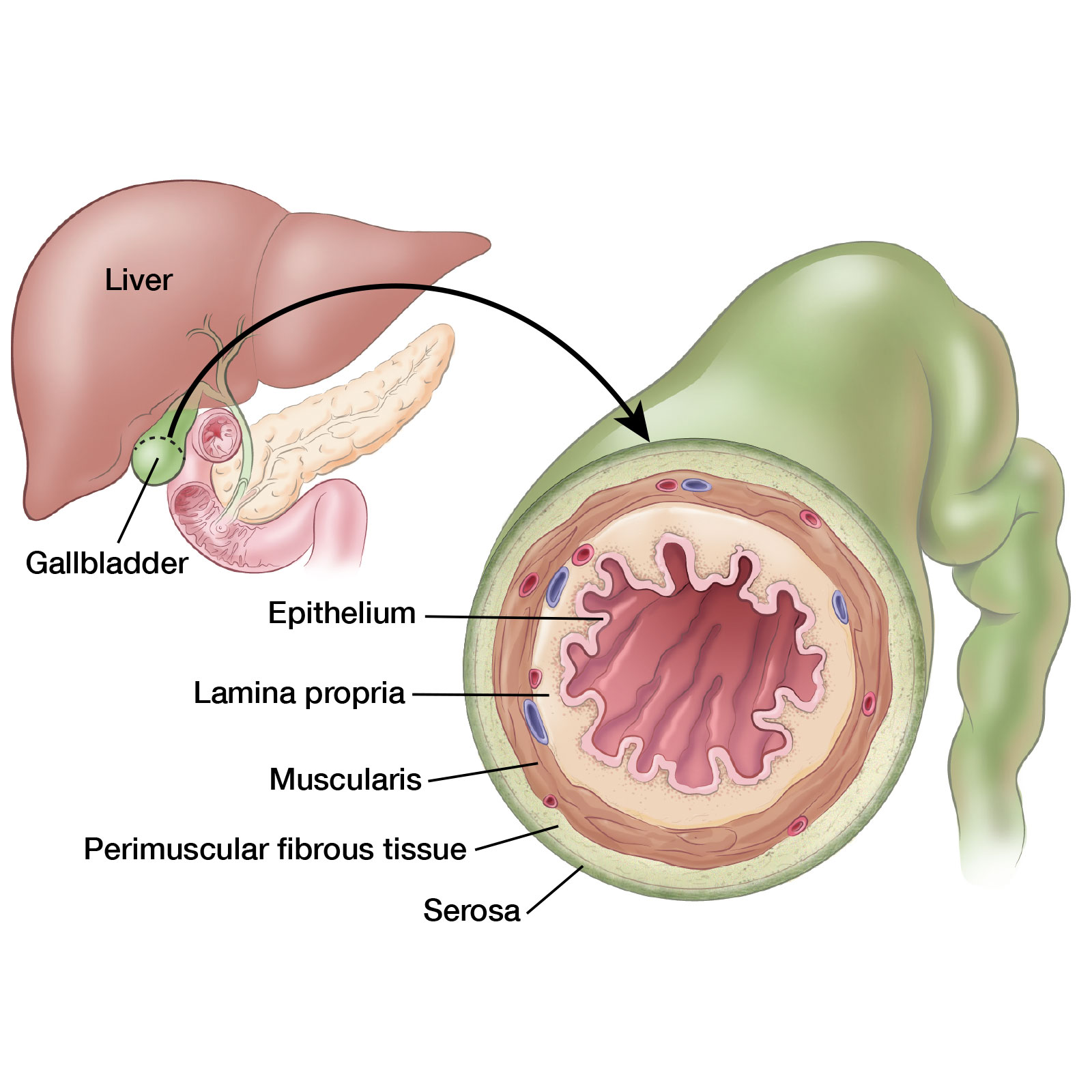 Gallbladder Anatomy Illustration By Fran Milner Medical