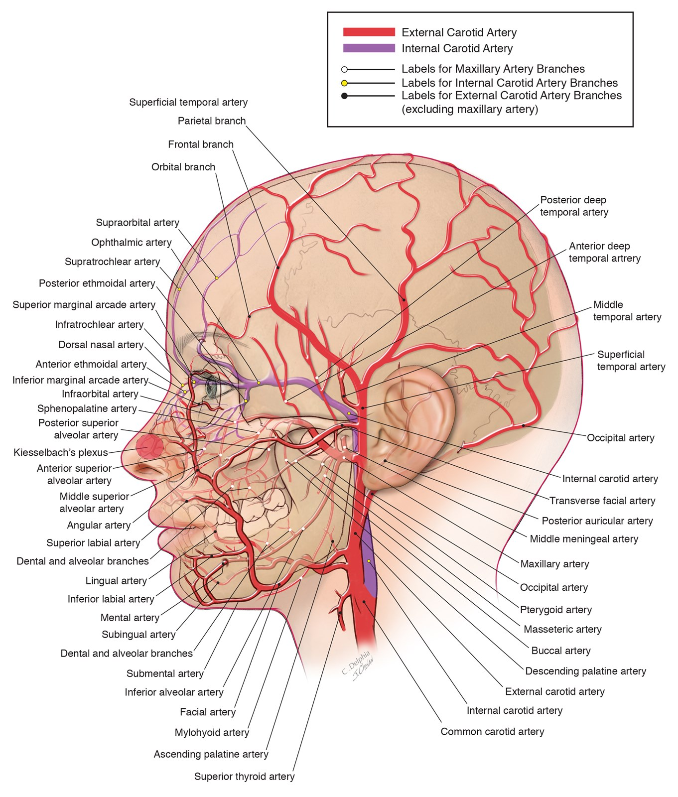 Arteries Of The Head And Neck Illustration By Joe Chovan Medical